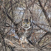Great Horned Owl 117 | Aurora CO