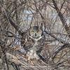 Great Horned Owl 117 | Aurora CO