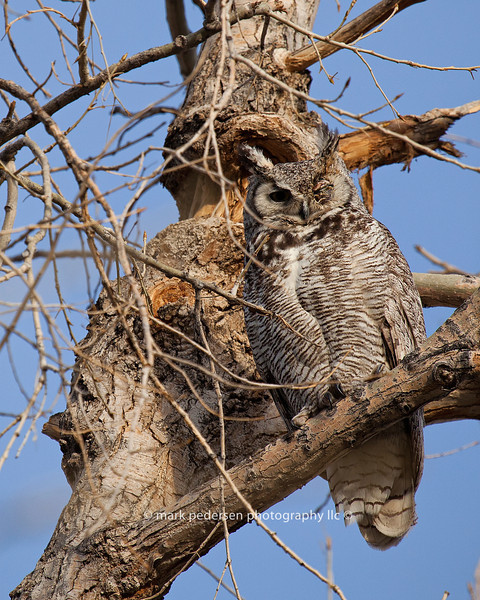Great Horned Owl 124 | Parker CO