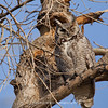 Great Horned Owl 124 | Parker CO