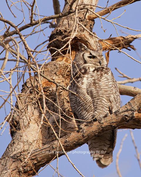 Great Horned Owl 125 | Parker CO