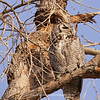 Great Horned Owl 125 | Parker CO