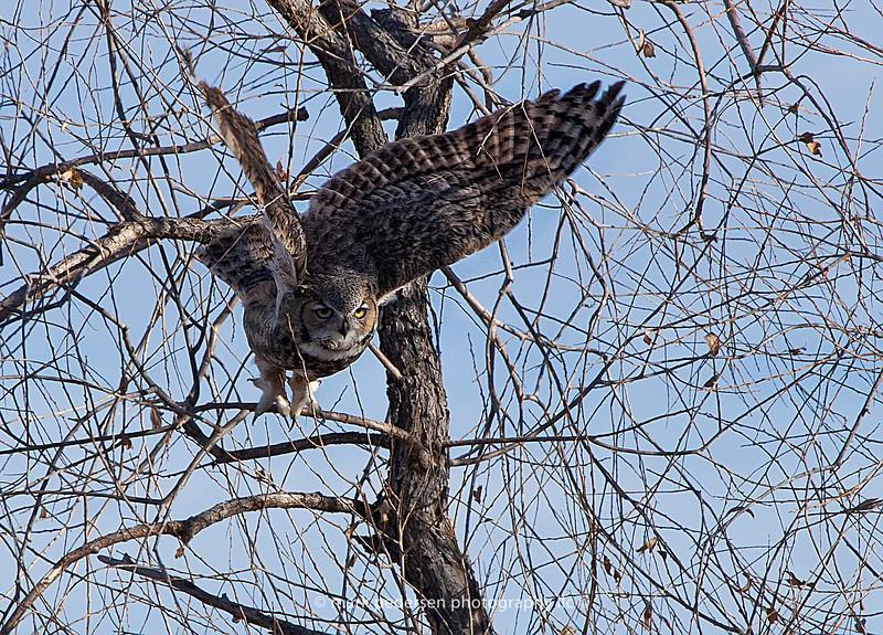 Great Horned Owl 105 | Aurora CO