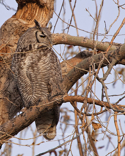 Great Horned Owl 126 | Parker CO