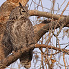 Great Horned Owl 126 | Parker CO