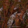 Great Horned Owlet 136 | Parker CO