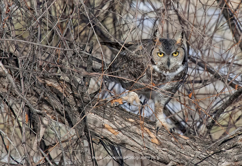 Great Horned Owl 115 | Aurora CO