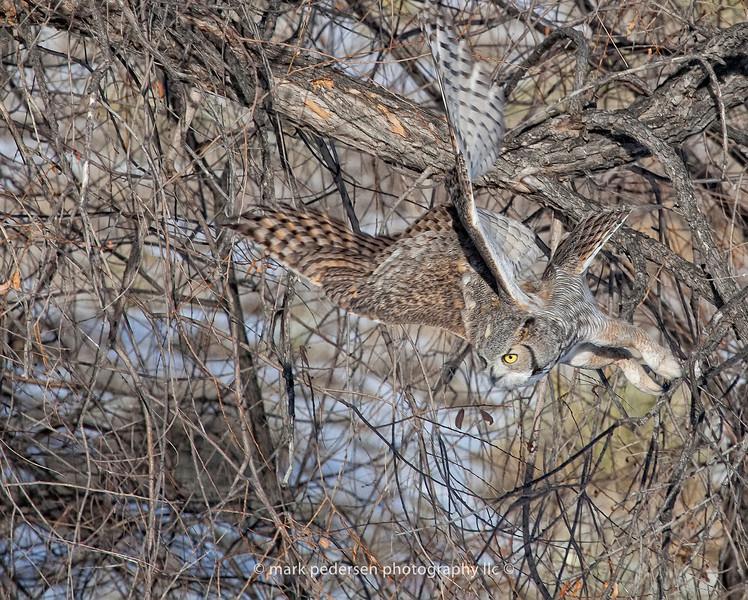 Great Horned Owl 120 | Aurora CO
