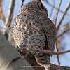 Great Horned Owl 139 | Parker CO