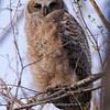 Great Horned Owlet 135 | Parker CO