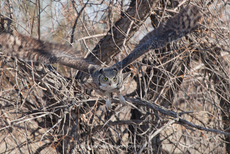 Great Horned Owl 116 | Aurora CO