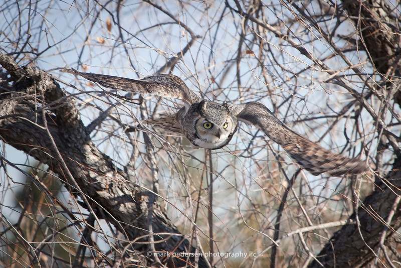 Great Horned Owl 110 | Aurora CO