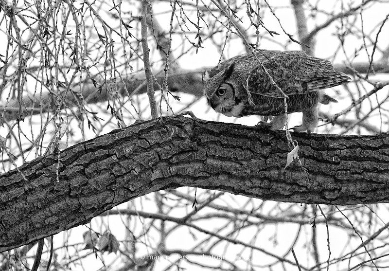 Great Horned Owl 108 | Aurora CO