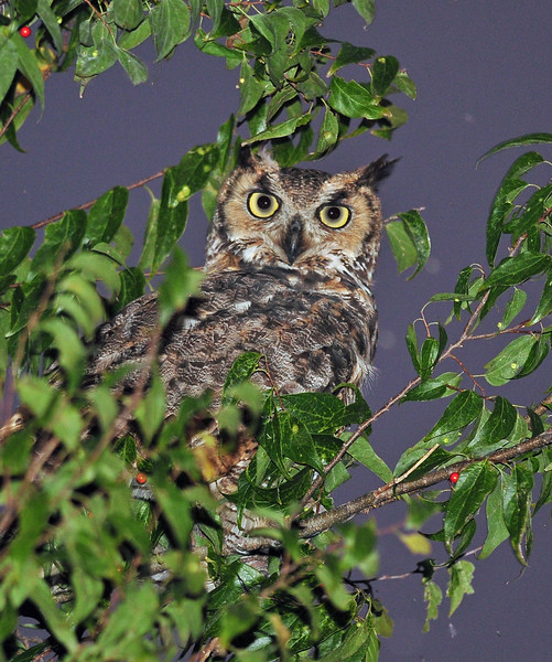 Great Horned Owl Leesburg, FL