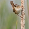 29-May-2017<br /> Marsh Wren at Great Meadows, Concord