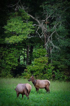 Elk - Great Smokies National Park, NC