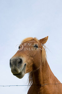 A smiling horse in a Tennesse pasture (face altered)
