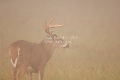 A whitetail buck is barely visible through dense fog on a fall morning in Tennessee