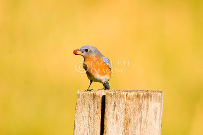 A bluebird swallows a red berry while perched on a fencepost in Tennessee