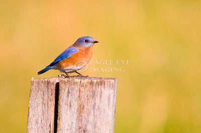 A bluebird sits on a fencepost in Tennessee
