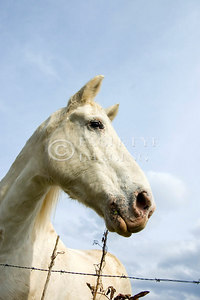 Looking up at a white horsei in a pasture in Tennessee