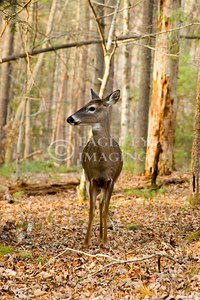 A whitetail deer looks for danger in the woods in Tennessee