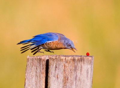 A bluebird flys in to grab a red berry in Tennessee