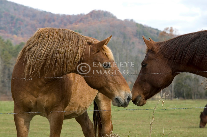 Two horses greet each other in a pasture in Smoky Mountain National Park.