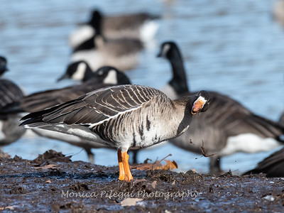Greater White-Fronted Goose 17Dec 2018-2199