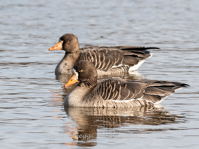 Greater White-Fronted Goose 17Dec 2018-2082