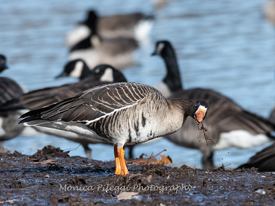 Greater White-Fronted Goose 17Dec 2018-2198