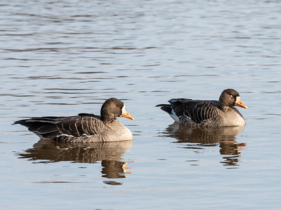 Greater White-Fronted Goose 17Dec 2018-2070