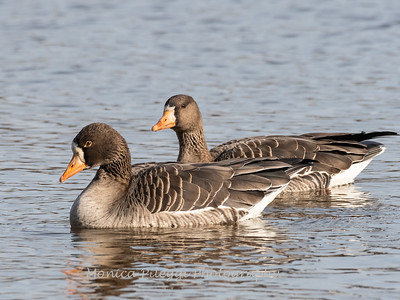 Greater White-Fronted Goose 17Dec 2018-2090
