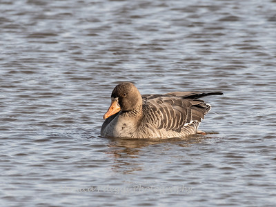 Greater White-Fronted Goose 17Dec 2018-2057