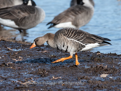 Greater White-Fronted Goose 17Dec 2018-2192