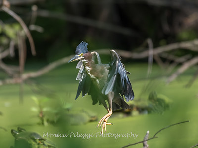 Green Heron 15 Aug 2018-3715