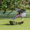 Green Heron 15 Aug 2018-3698