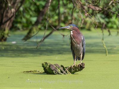 Green Heron 15 Aug 2018-3692
