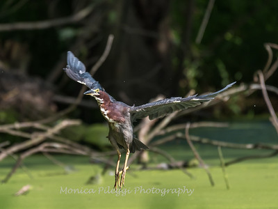 Green Heron 15 Aug 2018-3710