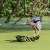 Green Heron 15 Aug 2018-3694