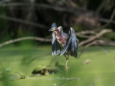 Green Heron 15 Aug 2018-3713