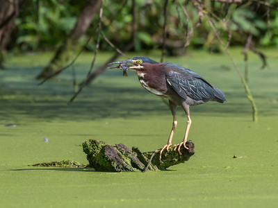 Green Heron 15 Aug 2018-3675