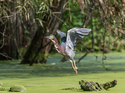 Green Heron 15 Aug 2018-3701