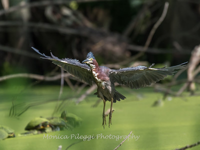 Green Heron 15 Aug 2018-3712