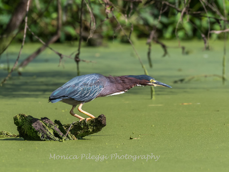 Green Heron 15 Aug 2018-3657