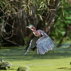 Green Heron 15 Aug 2018-3702