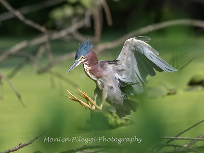 Green Heron 15 Aug 2018-3717