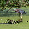 Green Heron 15 Aug 2018-3673