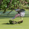 Green Heron 15 Aug 2018-3696