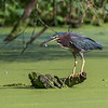 Green Heron 15 Aug 2018-3671